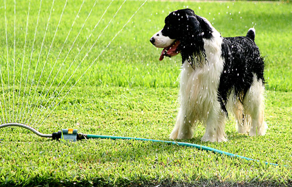 Sprinklerdogs013copy
